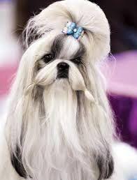 Resultado de imagen para peinados para perros shitzu machos