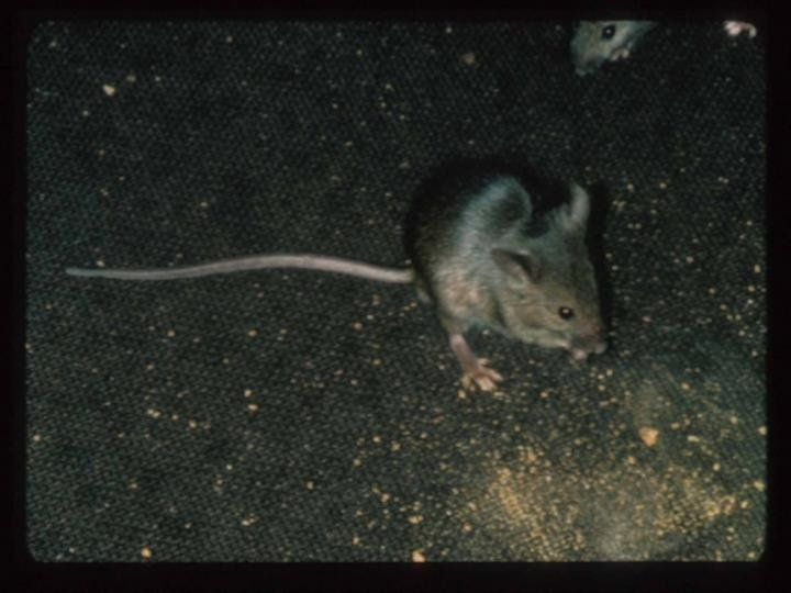 Of Mice And Disease Antibiotic Resistant Bacteria Discovered In Nyc House Mice A Study Of Mice Collected From Apartment Buildings Reveals They Carry Several D House Mouse Antibiotic Nyc