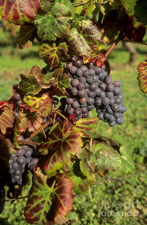 17 Best Images About Grape Art On Pinterest Vineyard