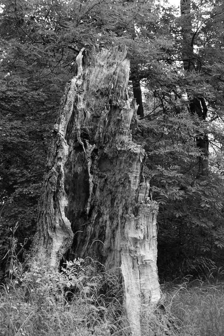 poplar after storm