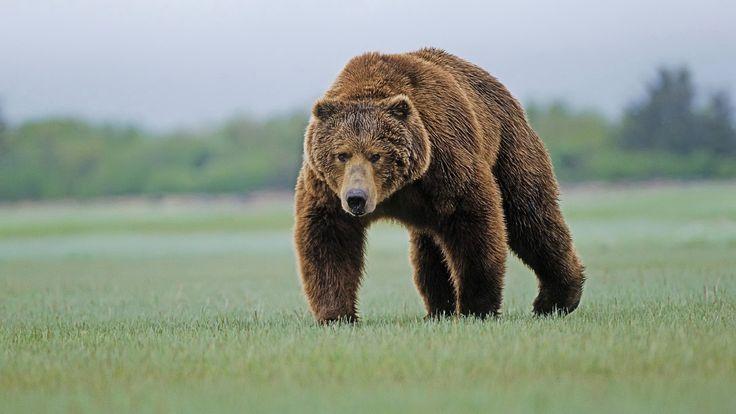 grizzly bear habitat image
