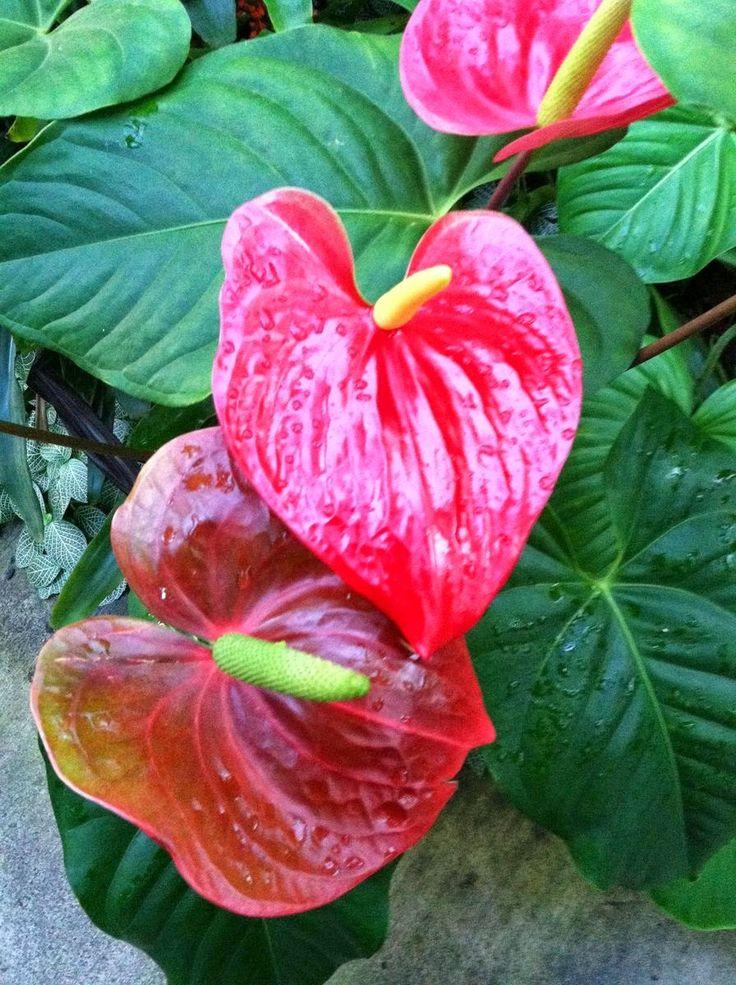 Kwiaty w domu i ogrodzie: Anturium - piękny okaz