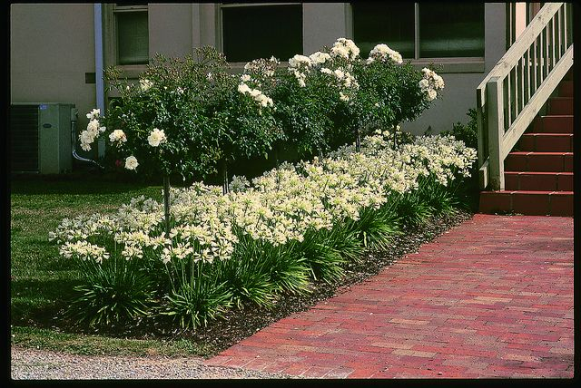 Snow Storm agapanthus (also called African lily) seen here as an underplanting beneath Flower Carpet White roses alongside a front entryway, offers compact blocks of color on strong, sturdy stems.