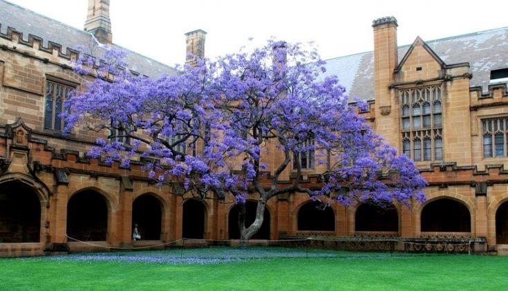 Jacaranda (violet tree) in bloom