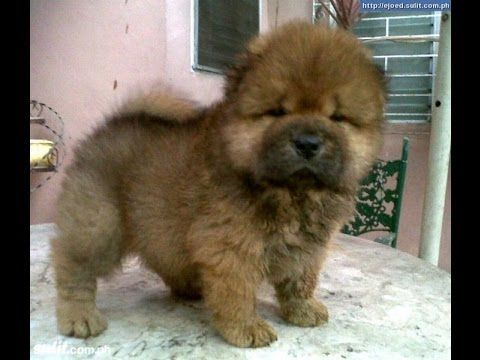 saved for us;Chow Chow, Puppies, , In, Gulfport, Mississippi, MS ...