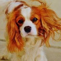 #dogalize Razas de Perros: Cavalier King Charles spaniel caracteristicas #dogs #cats #pets