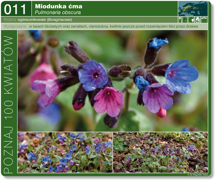Miodunka Cma Plants