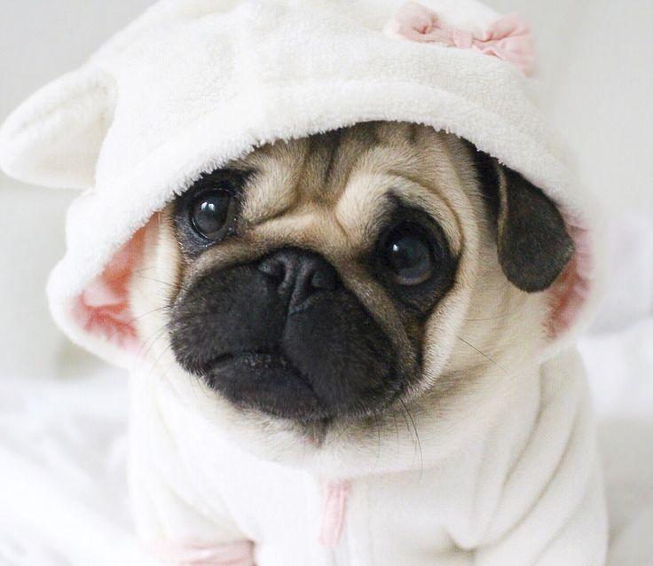 Social Pug Profile | Loulou http://www.thepugdiary.com/social-pug-profile-loulou/