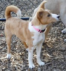 Hannah is an adoptable Basenji Dog in Sudbury, MA. Hannah is a darling Basenji mix. She weighs 12 lbs, so maybe is part Shiba Inu as they are like a small Husky. Hannah is smart, playful, loves people...