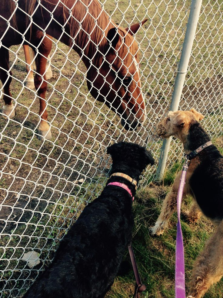 Bella and Audi (black Airedale) meet horsey!!