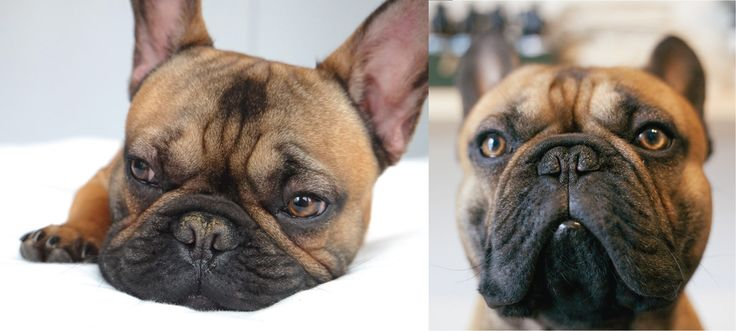 Frankie the French Bulldog - Before and after using black lightning nose balm