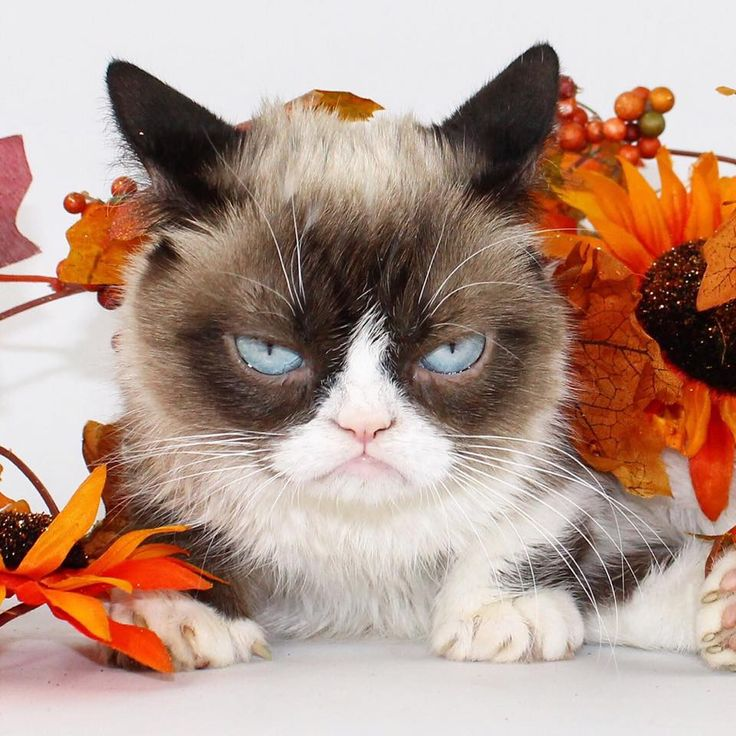 1013 best Grumpy Cat images on Pinterest   Grumpy cat ...
