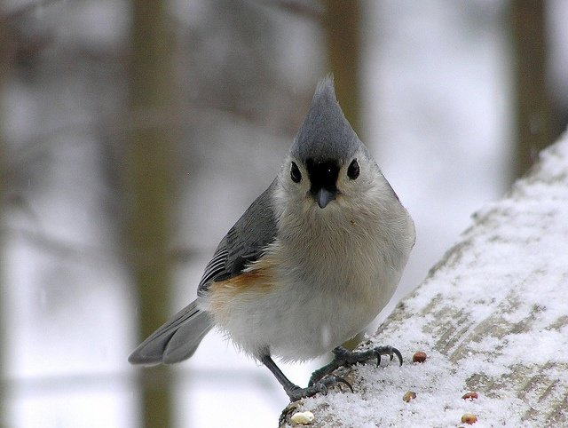 birds in my backyard...titmouse