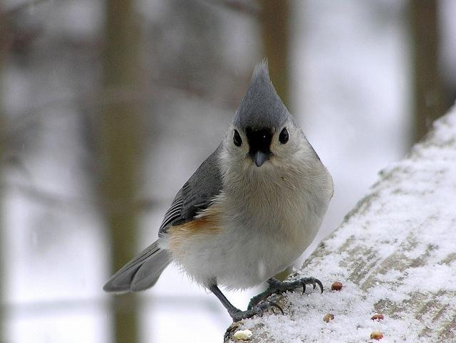 Titmouse, cute little bird.