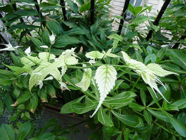Cor te albinos for Plante 5 feuilles