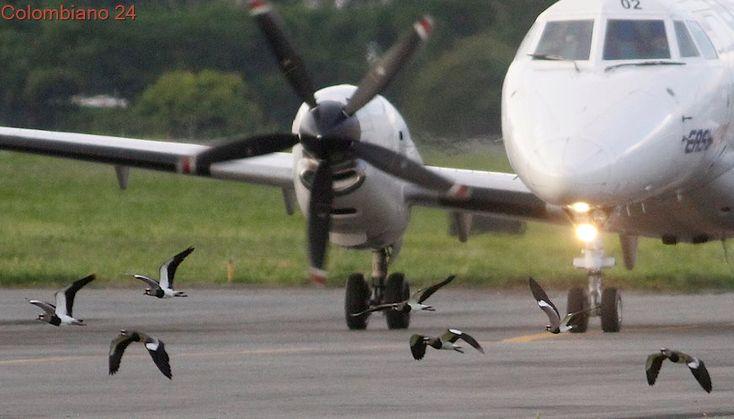 Aves ponen en riesgo las operaciones del aeropuerto Olaya Herrera