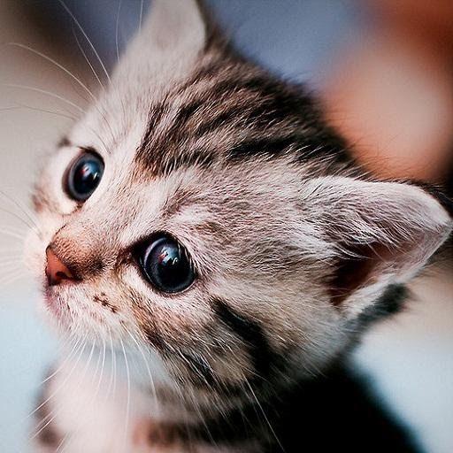 Wallpaper Kucing Hd 100 Lebih Wallpaper Kucing Lucu Dan Comel Wallpaper Merupakan Sebuah Gambar Yang Biasanya Dija Gambar Kucing Lucu Kucing Kucing Munchkin