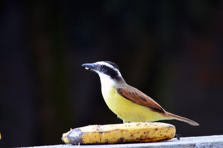 https://flic.kr/p/zHMNQh   Pitangus sulphuratus (Great Kiskadee / Bichofué)