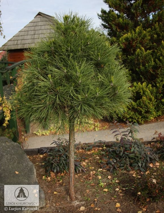 Pinus mugo 'Varella' - Sosna górska 'Varella'