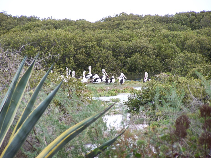 Pelicans. Photo by Kevin Collins of St Kilda, South Australia. Thank you Kevin. @cityofsalisbury #birds