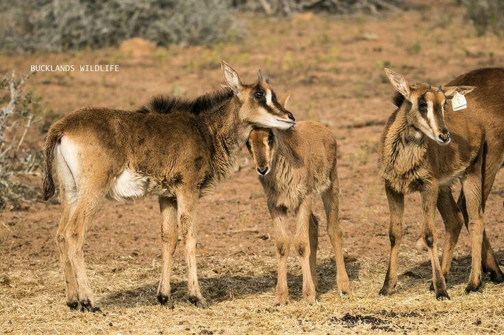 Sable calf besties #photography #snuggles #bucklandsprivategamereserve  #sable #sablebreeding #sablecalves #bucklandswildlife #africa #southafrica