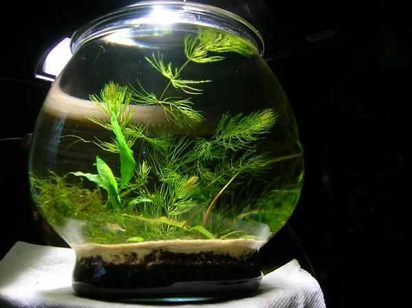 74 best images about aquarium 00 on pinterest planted for Best fish for bowl
