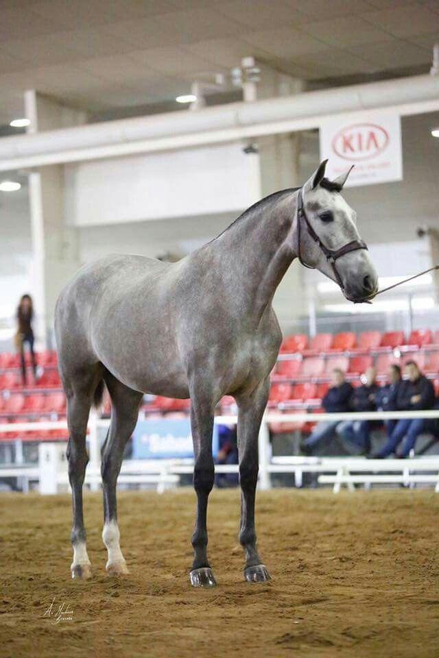 Beautiful tall horse. Jerarquía Mater. Mare. Yeguada Mater Chirsti