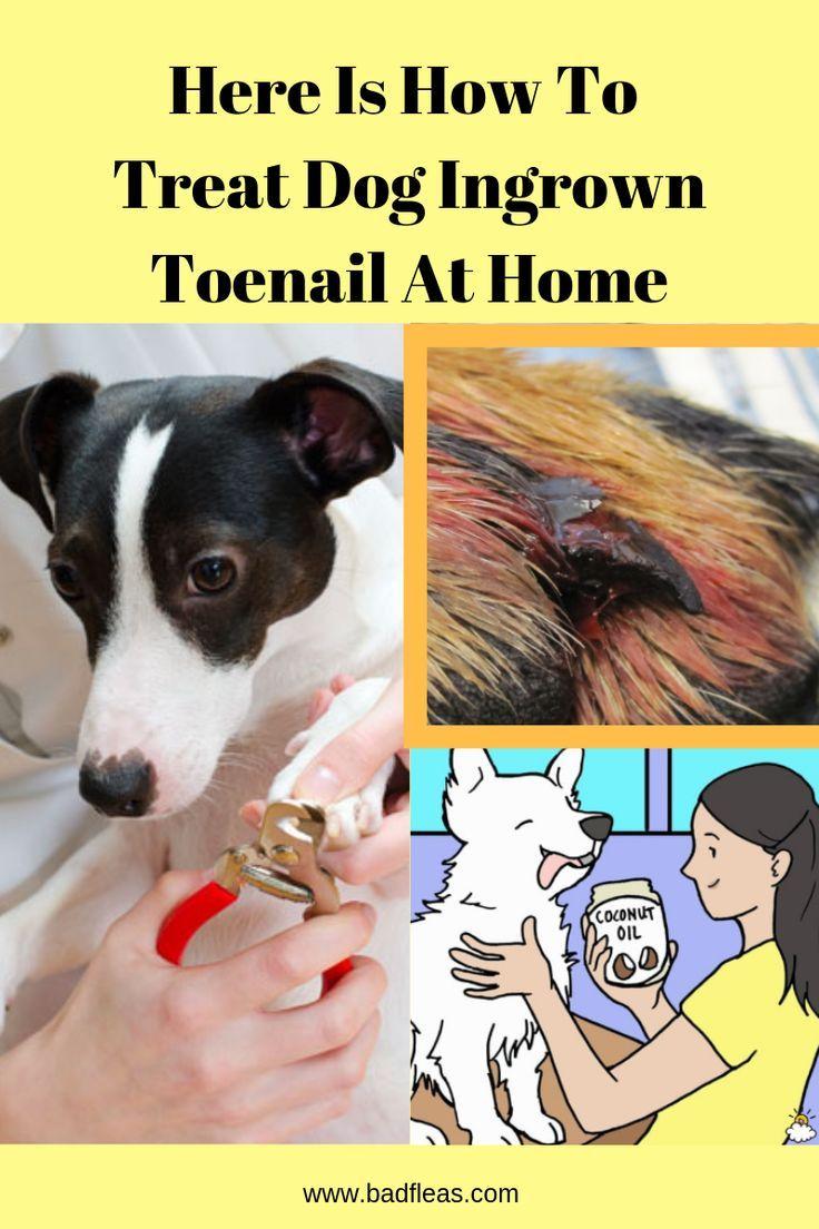 Dog toe nail clipping and how to treat dog ingrown toenails at home ...