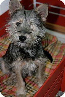 McKinney, TX - Yorkie, Yorkshire Terrier/Standard ...