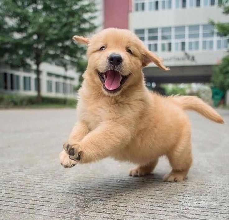 Very cute golden retriever puppy happy in the city streets ...