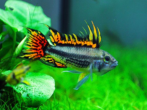 Double Full Red Cockatoo Cichlid Cristed Dwarf Cichlid Cockatoo Dwarf Cichlid Big Mouth Apistogramma Information Apistogramma Cacatuoides for sale and where to buy - AquaticMag (5)