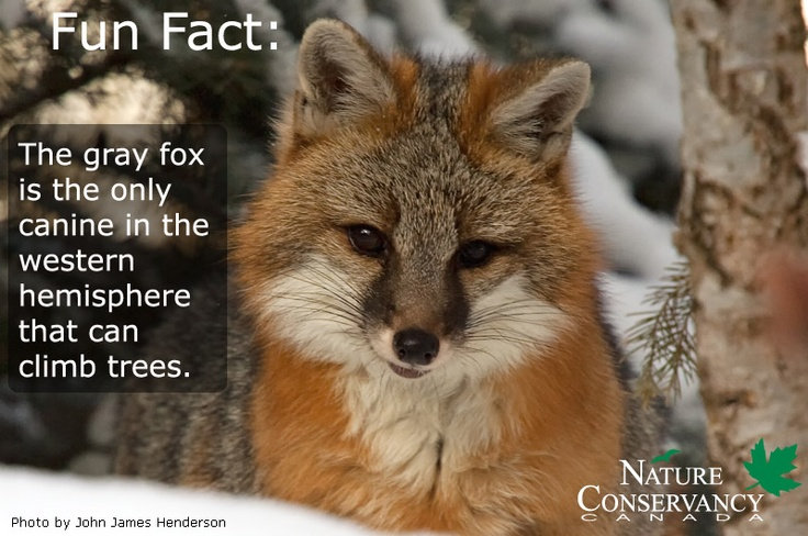 NCC is working to conserve land on Pelee Island in Ontario, where the at-risk gray fox is known to breed. When you give a Gift of Canadian Nature, you are supporting work like this! http://ow.ly/f498w