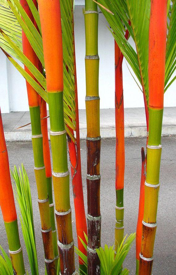 banana tree planting instructions