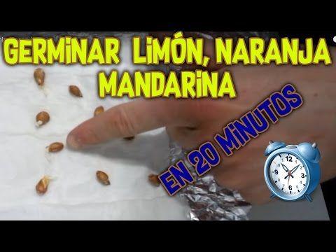 Germinar semilla de manzana | Rapido, facil y 100% efectivo! - YouTube
