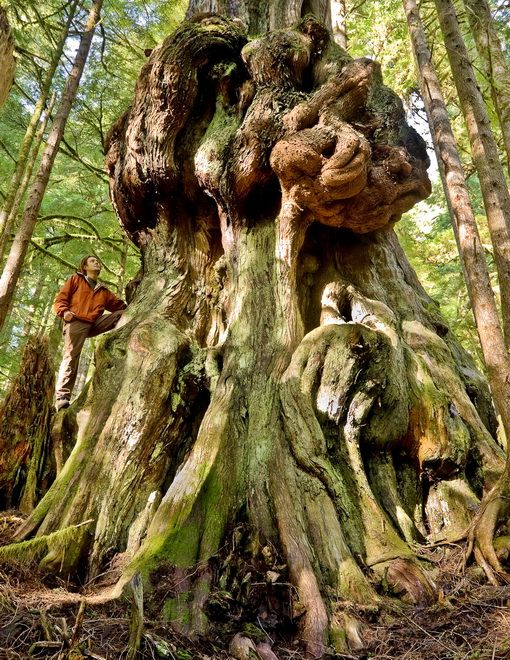 "Canada's Gnarliest Tree. The old-growth Western Red Cedar measuring 37ft around (12ft accross) is covered with alien-shaped burls resembling Jabba The Hut. It grows in the logging-threatened ""Avatar Grove"" located approximately 10kms from the town of Port Renfrew BC on Vancouver Island. Photo credit: TJ Watt"