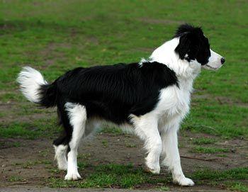 Farm collie/Farm Shepherd dog photo | favourite dog breeds - Page 4 - Et Cetera - Sound Opinions Message ...