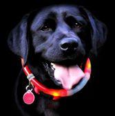 Glowdoggie - Lighted dog collars revolutionizing dog safety