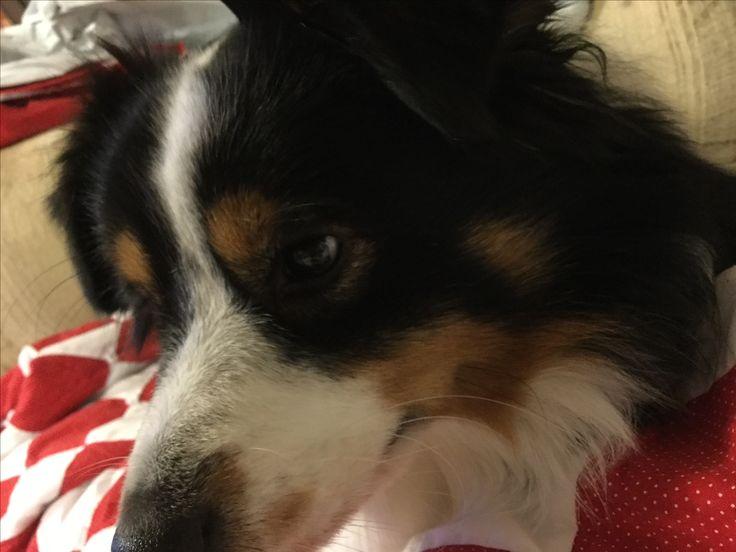 My puppy #miniaussie