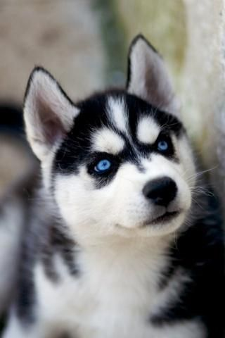Such a beautiful Siberian Husky