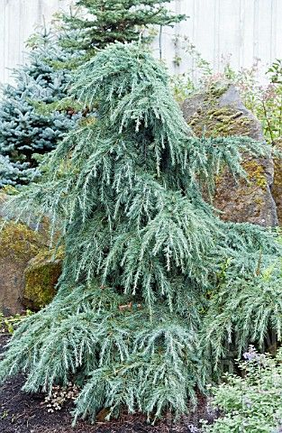 Cedrus deodara 'Feelin' Blue - Google Search