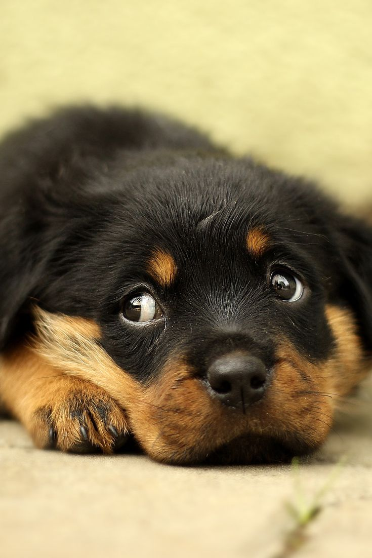 A Cute Puppy Rottweiler Cute Dog Puppy Rottweiler