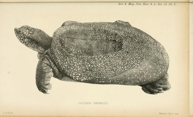 Yangtze giant softshell turtle