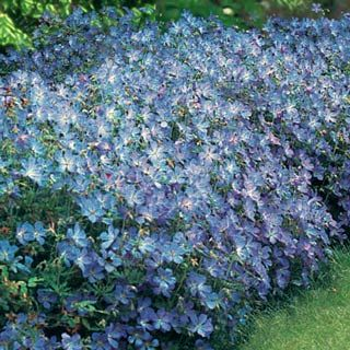 Vivid clear blue with tinged pink centers. Hardy geraniums are low-maintenance perennials ideal for borders, rock gardens or as a colorful ground cover.