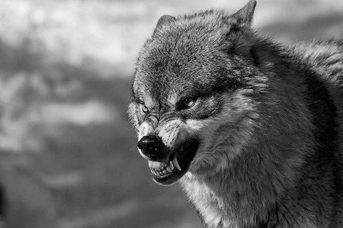 Angry Wolf | Wolves | Pinterest | Wolves and Angry wolf