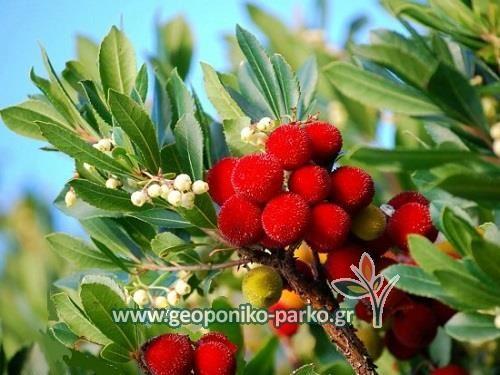 Αειθαλείς ανθοφόροι θάμνοι : Κουμαριά θάμνος φυτό - Arbutus unedo