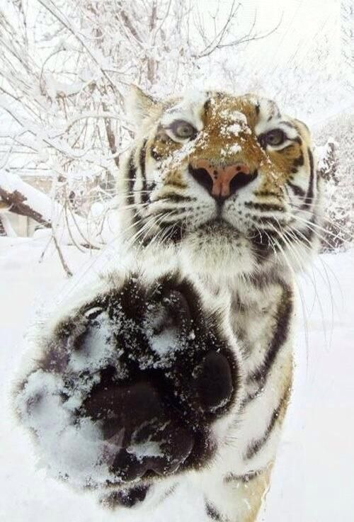 Tiger out playing in the Snow