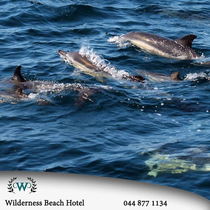 Did you know that from June until November there are an estimated 37 species of Whales and Dolphins that visit the coast of the Western Cape. #triviatuesday #wilderness #gogreen
