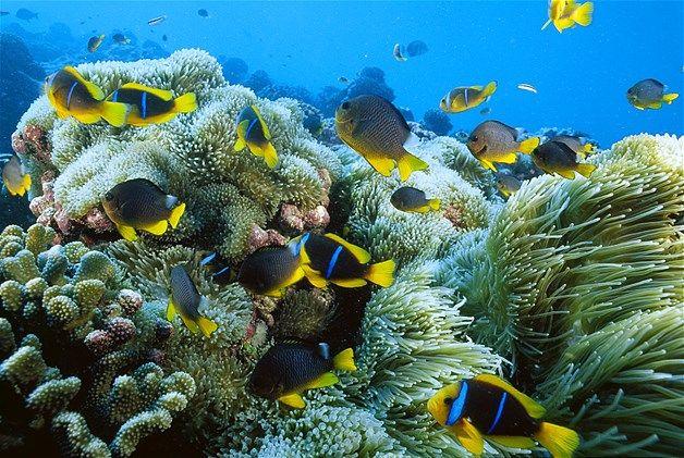 Image: Orange fish-fin anemonefish & sea anemone (© Paul Nicklen/National Geographic)