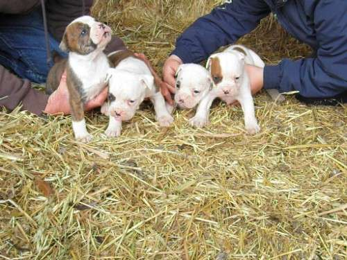 aussie bulldog pups for sale reds and red brindle patches males and females. Pups are well socialised with dogs and kids they have been vaccinated, microchipped, wormed and vet checked 1 hour sth sydney - http://www.pups4sale.com.au/dog-breed/665/Australian-Bulldog.html