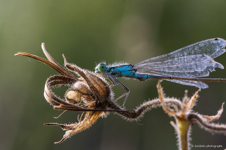 Libelle by Babs Helferich on 500px